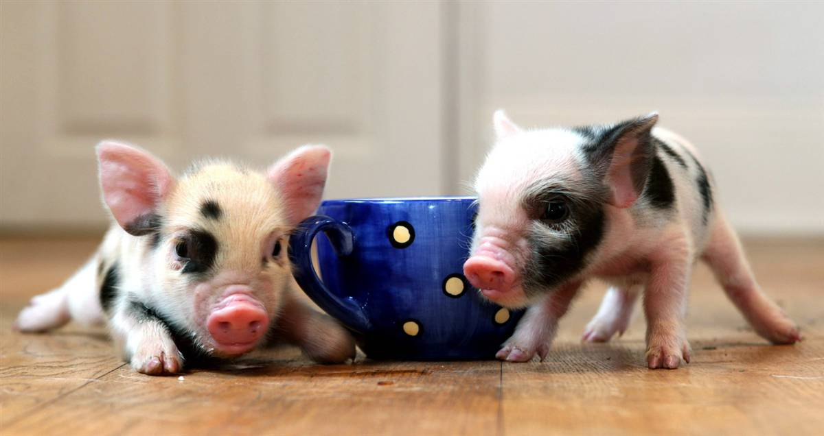 How to Housebreak Your Micro Pig