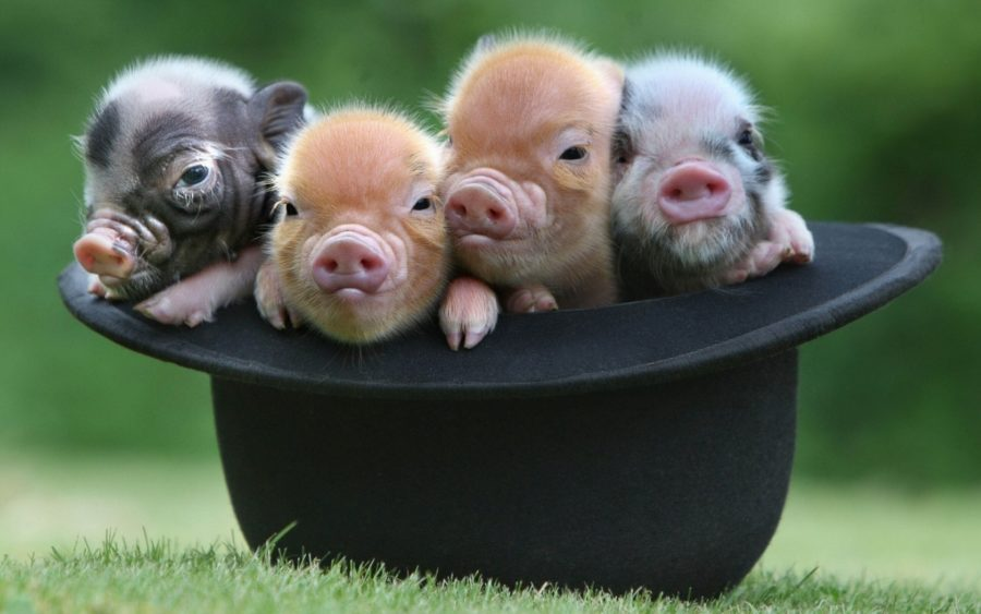 Guides in Proper Caring of Micro Mini Pigs